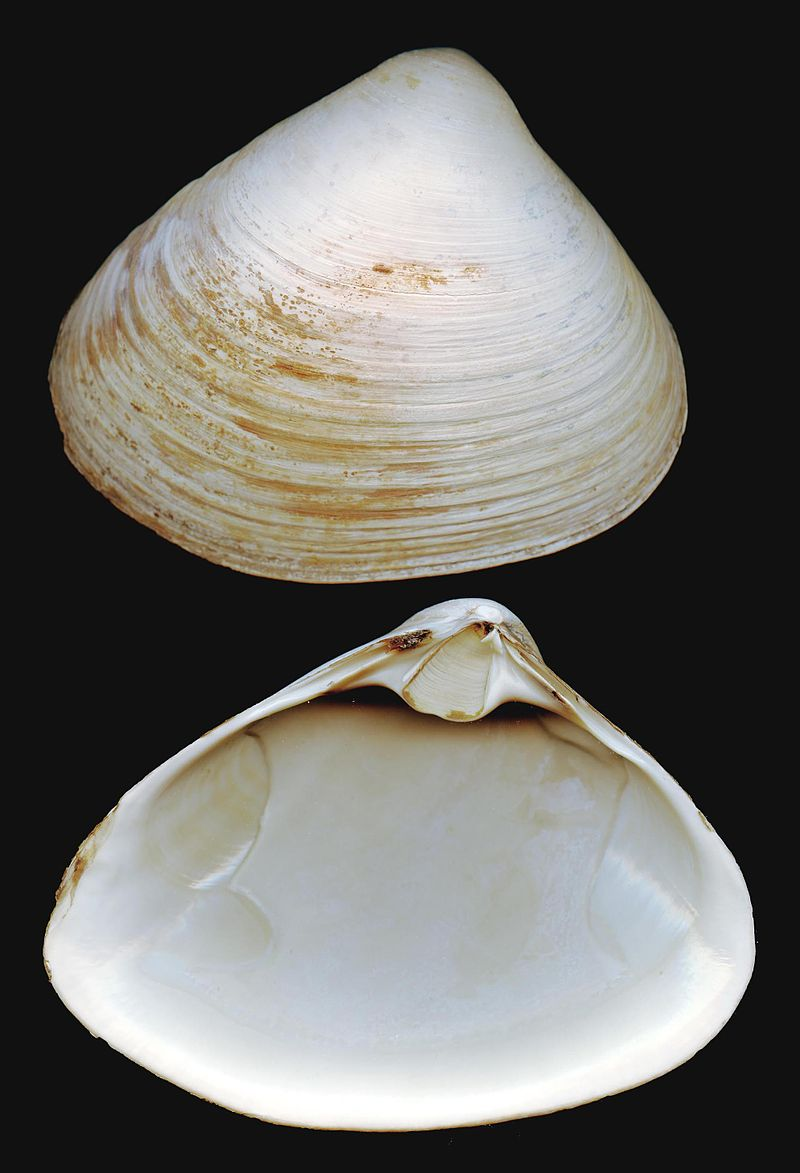 Atlantic Surfclam Study Results to be ready in 2018