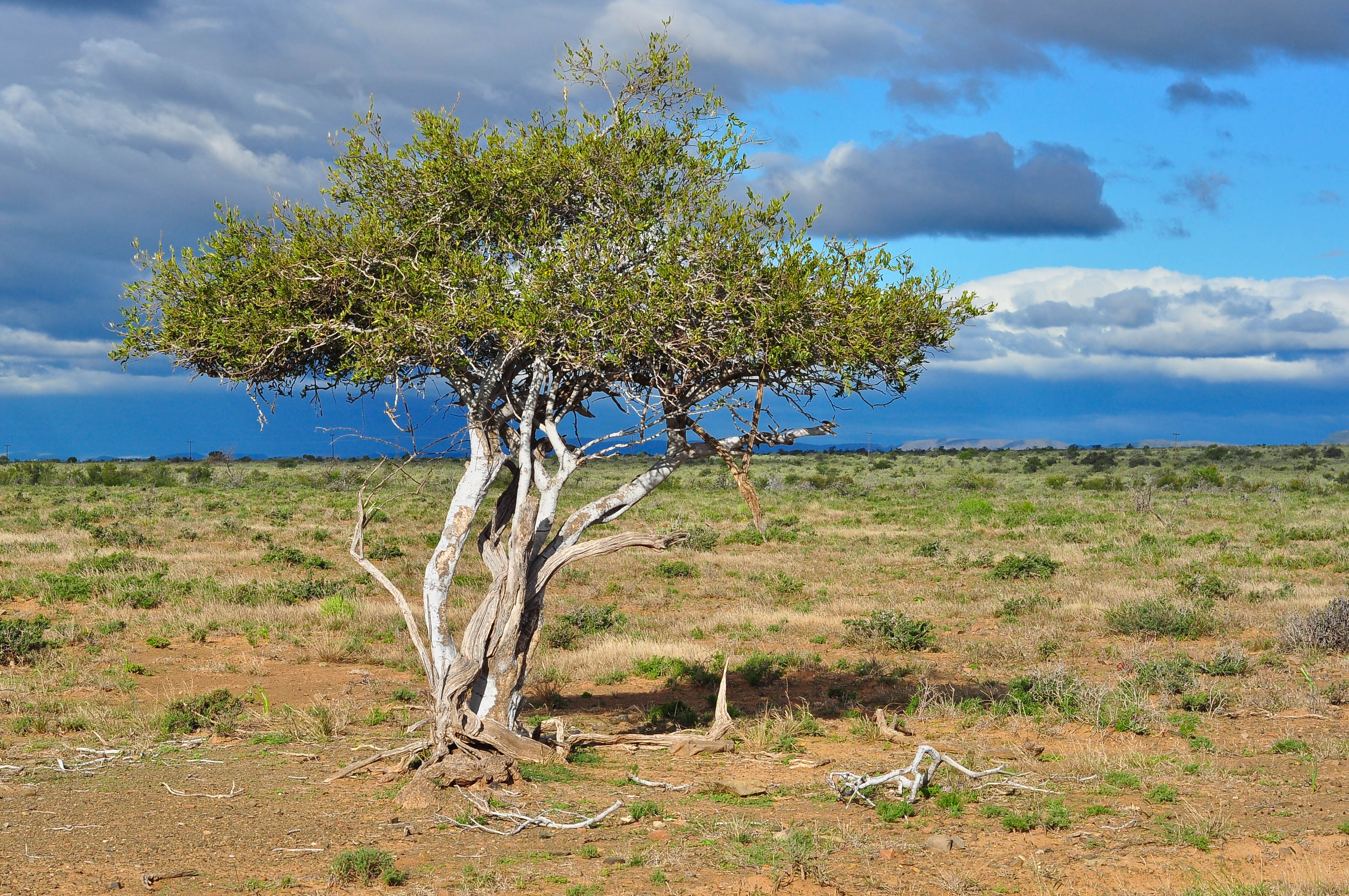 Shepherd's tree (Boscia albitrunca), native to the Kalahari Desert, has the deepest documented roots: more than 70 meters, or 230 feet, deep. Their depth was discovered accidentally by drillers of groundwater wells. Michael Potter11/Shutterstock