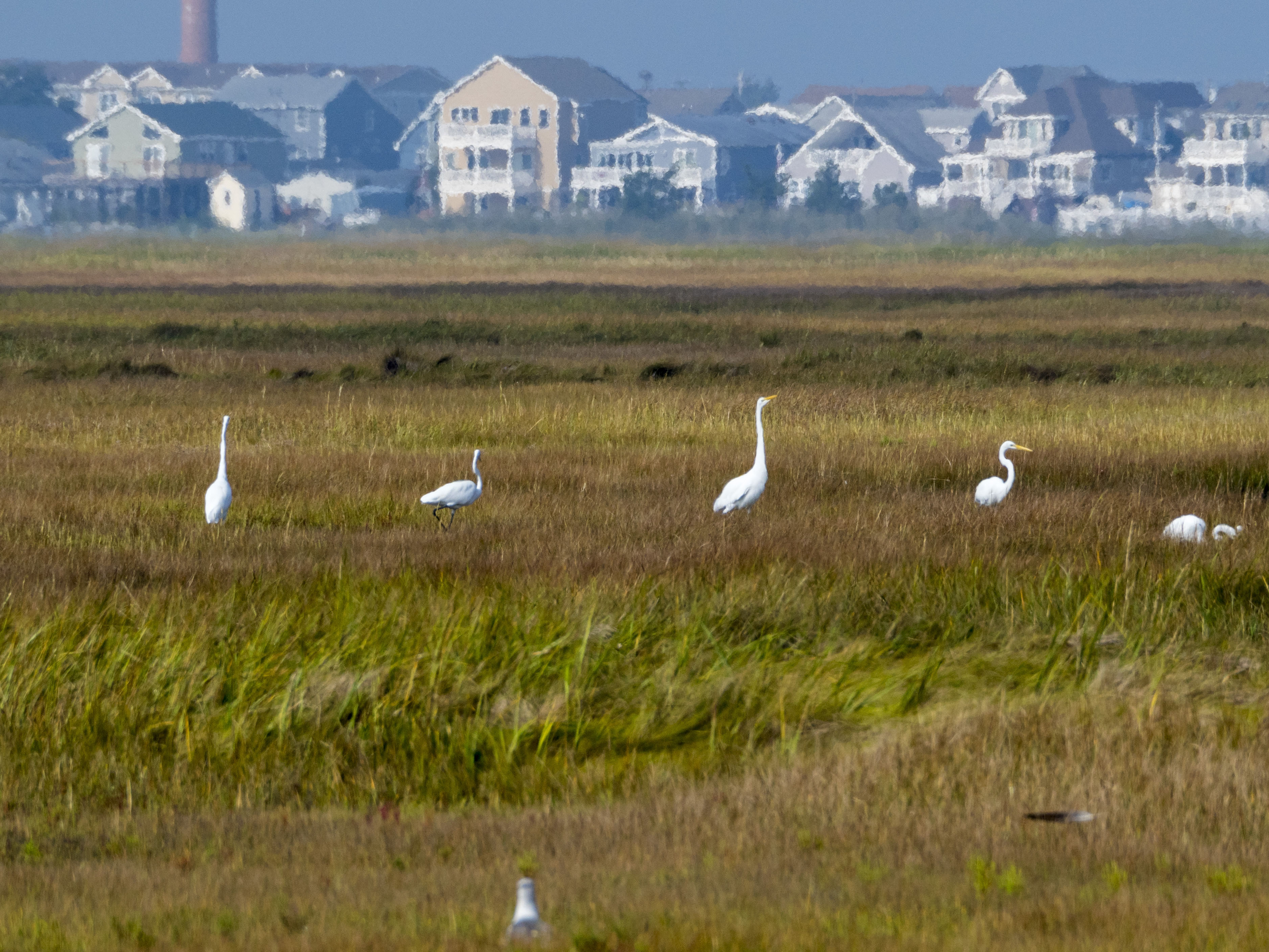 Egrets in Little Egg Harbor
