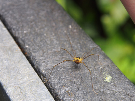 This is the first documentation in 100 years (and first known photo) of the rare harvestman spider species, Eucynorta conigera. It was spotted in Costa Rica during the 2015 Personal Bioblitz. Photo: © Lena Struwe, 2015
