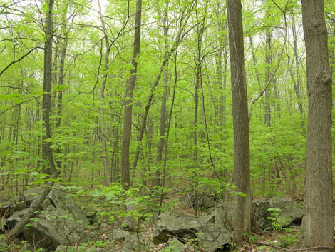 Jennifer Blake-Mahmud became fascinated with the reproductive habits of striped maples, like these in a forest in northern New Jersey. Jennifer Blake-Mahmud, Rutgers University