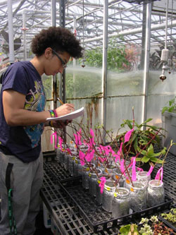 Carlos Olivares, Class of 2017, worked with Blake-Mahmud to check the sex of striped maple flowers on branches blooming in the greenhouse. Photo: Jennifer Blake-Mahmud, Rutgers University