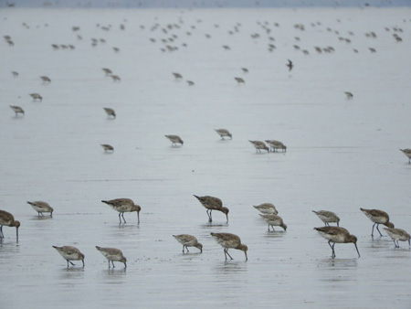 Red knots (the smaller birds in grey winter plumage) and Hudsonian godwits on Bahia Lomas tidal flats in Tierra del Fuego, Chile. Photo: Joe Smith