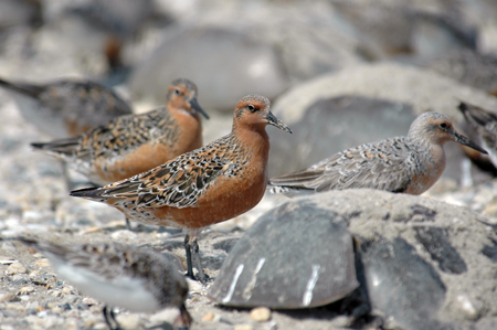 Red knots and horseshoe crabs at Mispillion Harbor, Delaware. Photo: Gregory Breese/USFWS