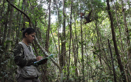 Rutgers doctoral student Didik Prasetyo collecting data on orangutans in the Tuanan Orangutan Research Station in the Mawas Conservation Area in Indonesia. Photo: Erin R. Vogel/Rutgers University–New Brunswick