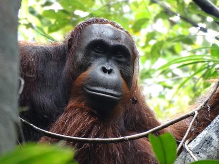 """Jerry,"" the orangutan named by Rutgers doctoral student Didik Prasetyo. Photo: Cecilia Mayer"