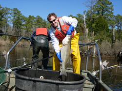 James Morley, then a Rutgers postdoctoral researcher, with a striped bass, one of the many fish species that may be headed north. Joe Hightower, North Carolina State University