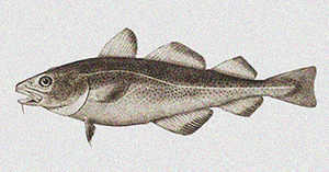 """Yale Climate Connections Interviews Malin Pinsky: """"The Atlantic cod is leaving U.S. waters"""""""