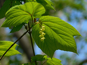 Striped Maple Trees Often Change Sexes, With Females More Likely to Die
