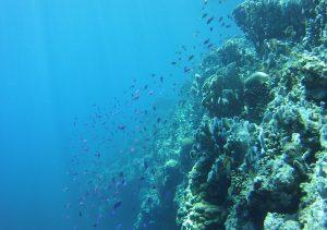 A coral reef off Cuatros Islas in the Philippines. Photo: Michelle Stuart/Rutgers University-New Brunswick