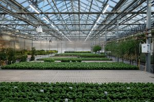 White LED lamps are used to improve basil production in a greenhouse. Photo: A.J. Both/Rutgers University-New Brunswick
