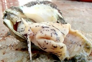 An adult whelk collected aboard a commercial scallop vessel. Photo: Sarah Borsetti/Rutgers University-New Brunswick
