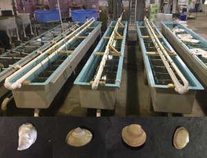 The four bivalve species studied at Rutgers' New Jersey Aquaculture Innovation Center include the Eastern oyster, Atlantic surfclam, hard clam and softshell clam (left to right). Photo: Michael Acquafredda