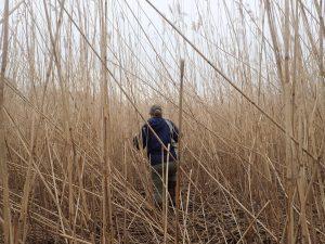 Julie Blum in the New Jersey jungle.  Phragmites marsh, Raritan River, NJ. Photo courtesy of Laura Reynolds