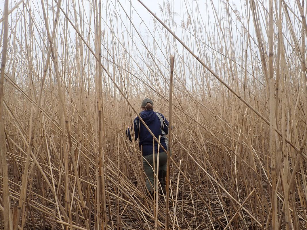 Julie Blum, in the New Jersey jungle, Phragmites marsh, Raritan River, NJ. Photo courtesy of Laura Reynolds