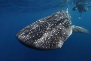 Whale sharks can exceed 40 feet and weigh up to 40 tons, according to some estimates. Photo: NOAA