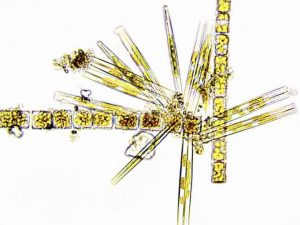 The diatoms in this image are members of the crash lineage that have stolen many genes from bacteria. Crash species have become dominant phytoplankton in both marine and freshwater environments. Credit: Julia Van Etten