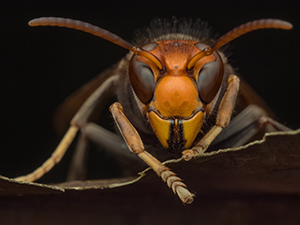 Asian giant 'murder hornets' buzz into U.S. Could they get to Philly area?