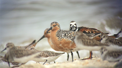 A red knot among a flock of migratory shorebirds foraging along the Delaware Bayshore. Photo: Brian Schumm