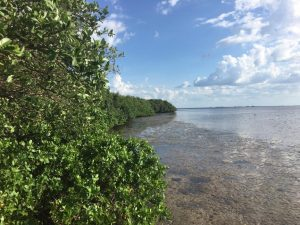 Mangroves in Tampa, Florida. Photo: Kerrylee Rogers/University of Wollongong