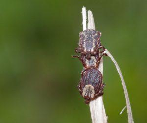 Three American dog ticks (Dermacentor variabilis): two females and one male. Photo: Jim Occi/Rutgers University–New Brunswick