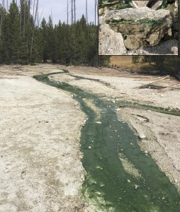 Lemonade Creek in Yellowstone National Park, where red algae (that appear green) line the hot, acidic creek bottom and live within nearby rocks (inset). Credit: Tim McDermott