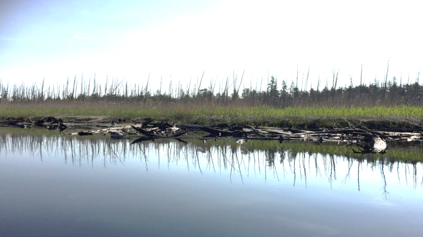Standing dead tree trunks (a ghost forest) dominate this coastal landscape in New Jersey's Mullica River watershed. Dead and down trunks from an earlier forest that was buried in marsh sediment are exposed along the water's edge. Photo: Jennifer Walker