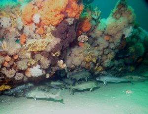 Bottom-dwelling fish such as Atlantic cod are often found near structures such as shipwrecks. Photo: NOAA